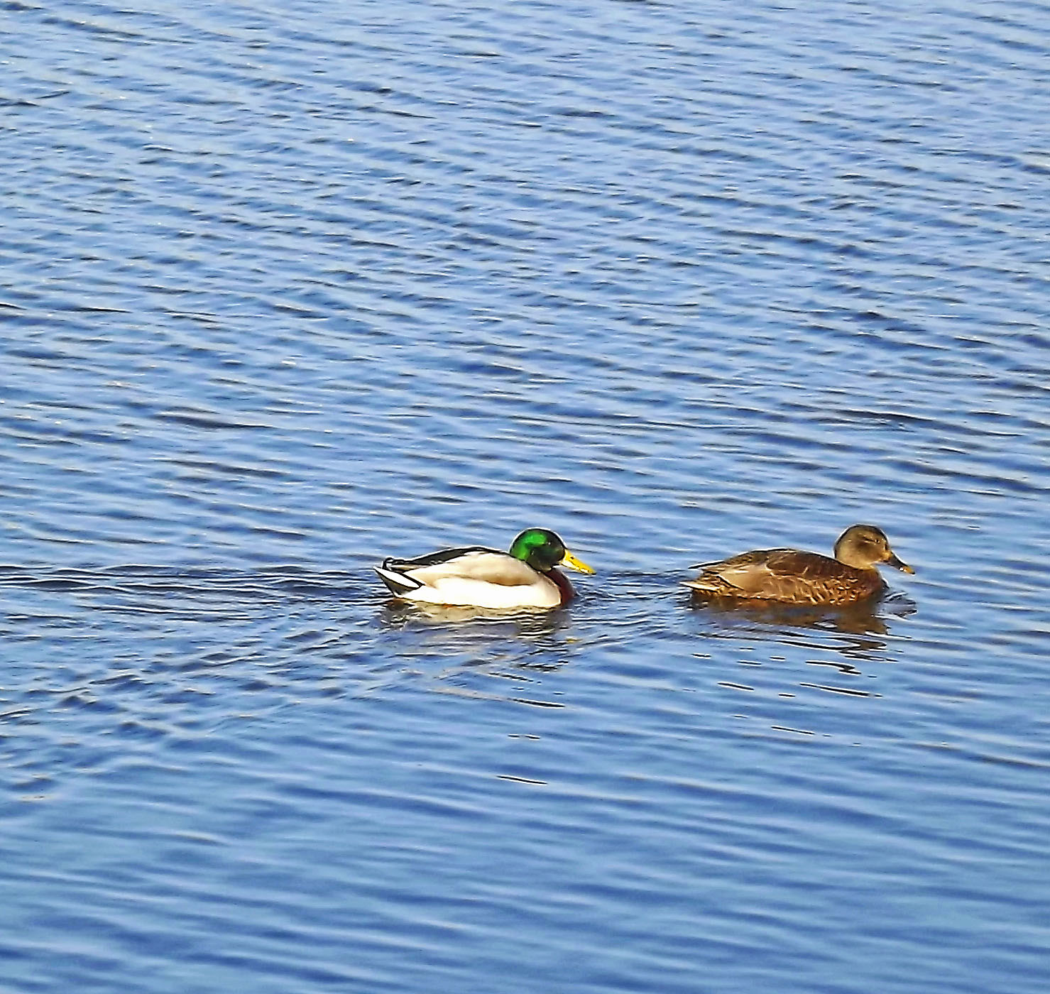 Female Mallard Leading A Drake In Oceanport Creek