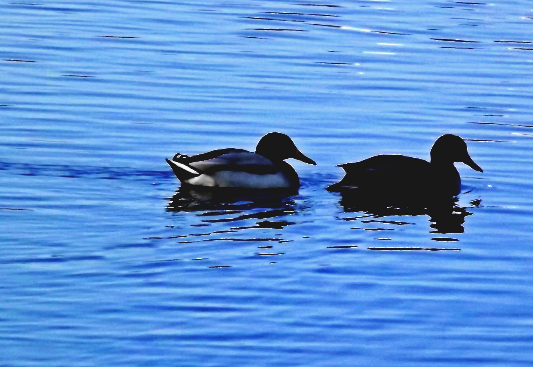 Mallard Silhouettes At Dusk In Blackberry Bay