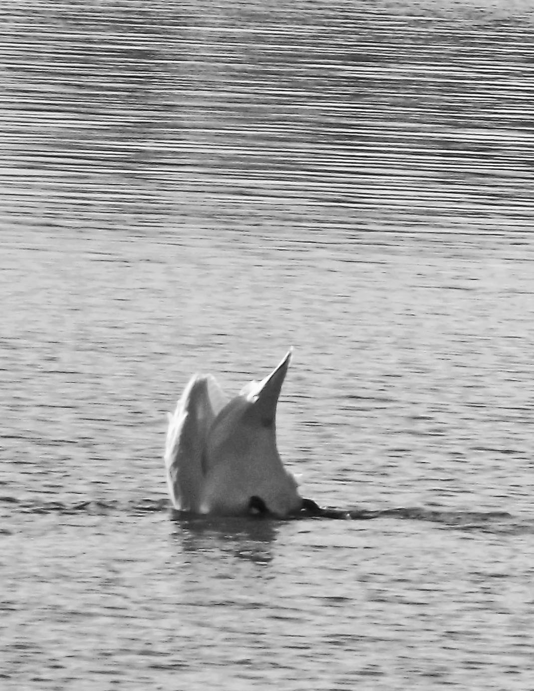 Mute Swan Pointing Up