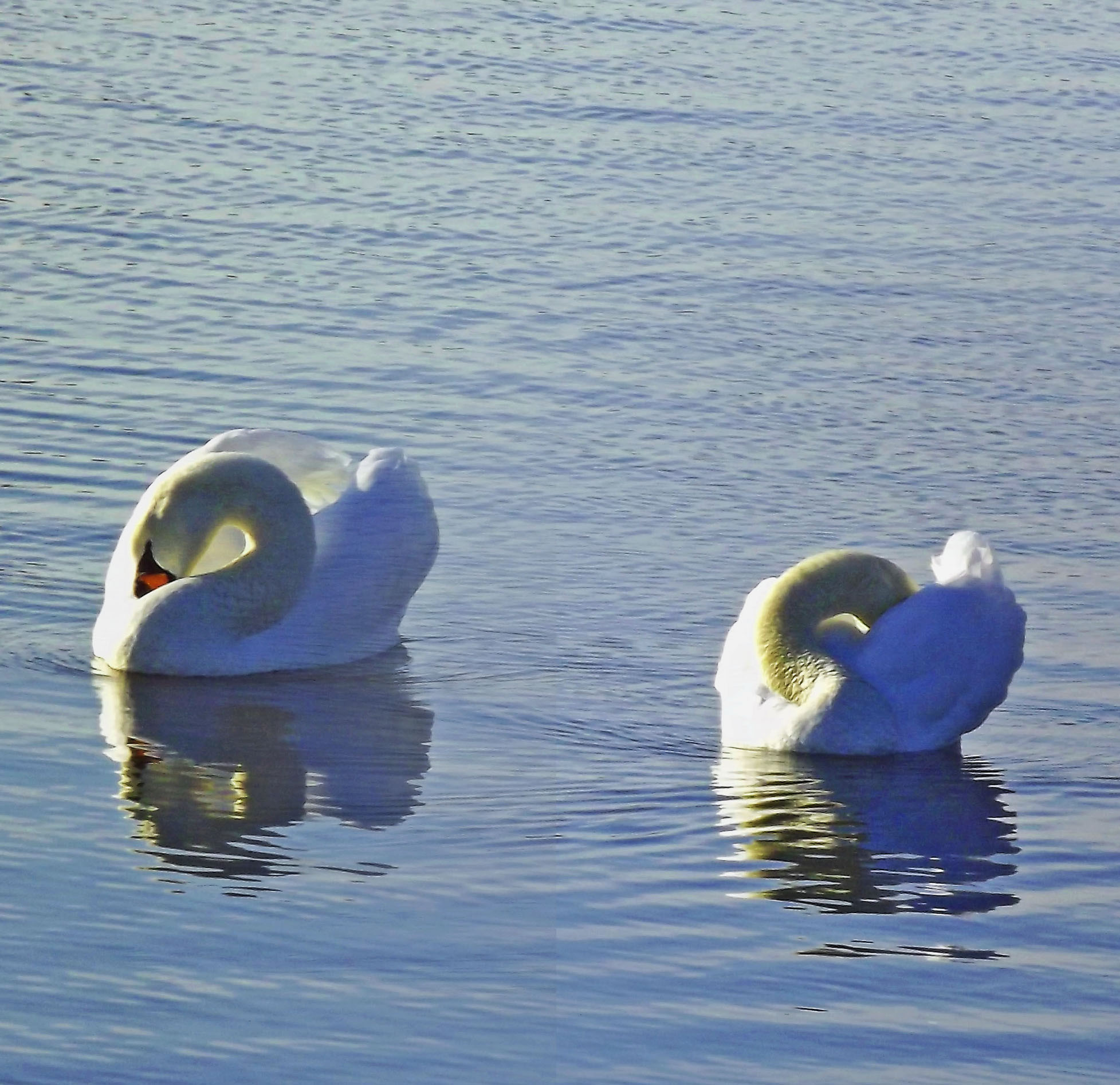 Mute Swans Reflecting-In Oceanport Creek NJ