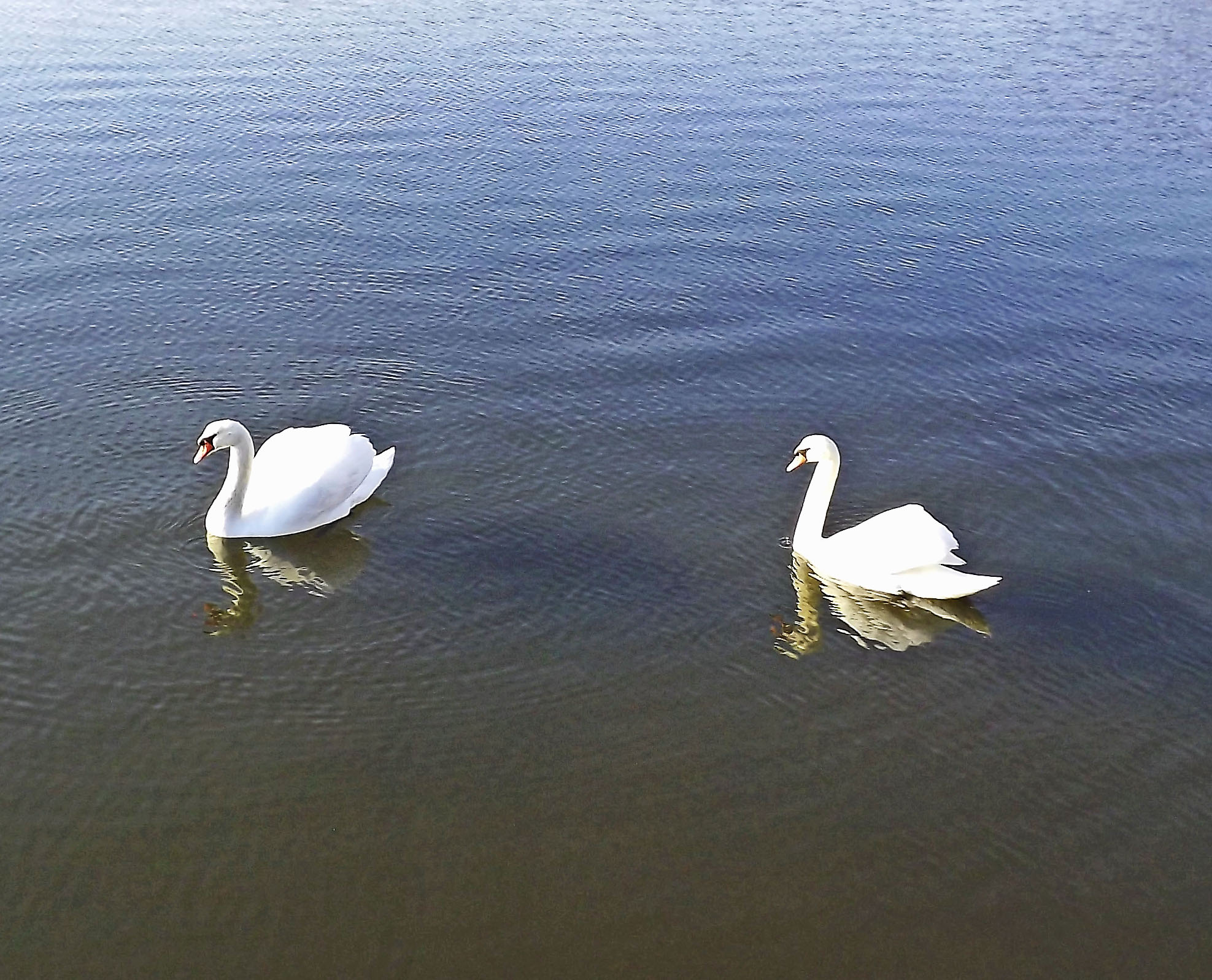 Swans In Blackberry Cove Creek