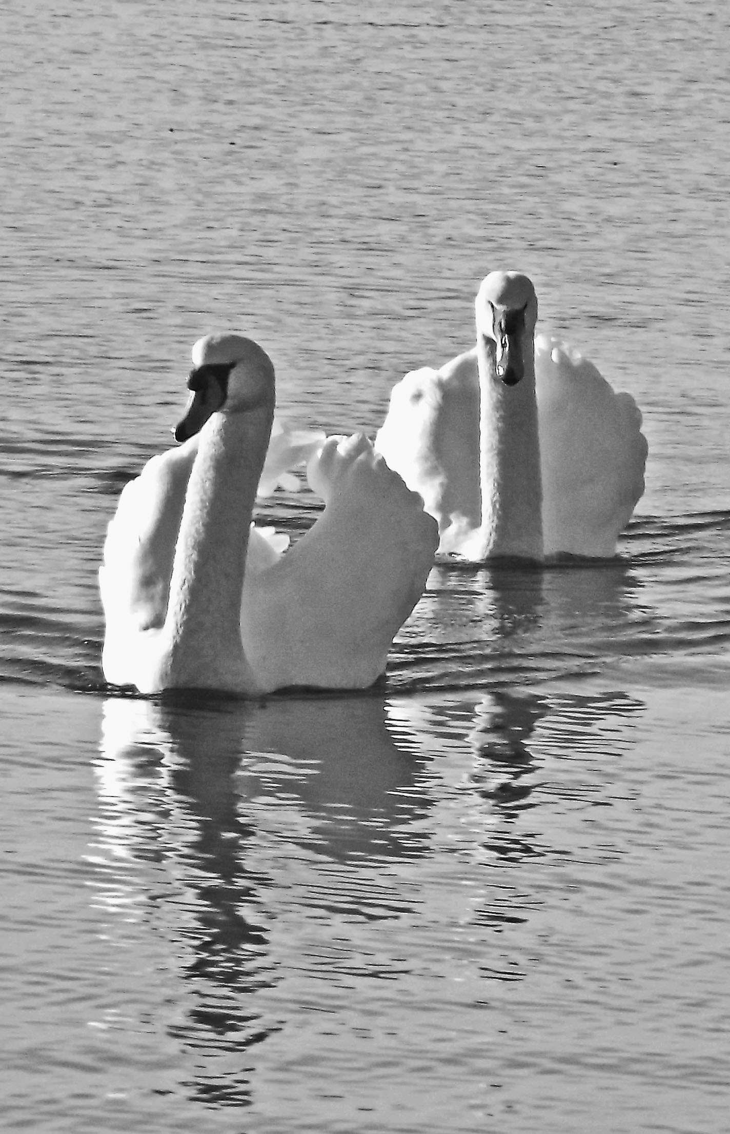 Trumpeter Swans At The Jersey Shore
