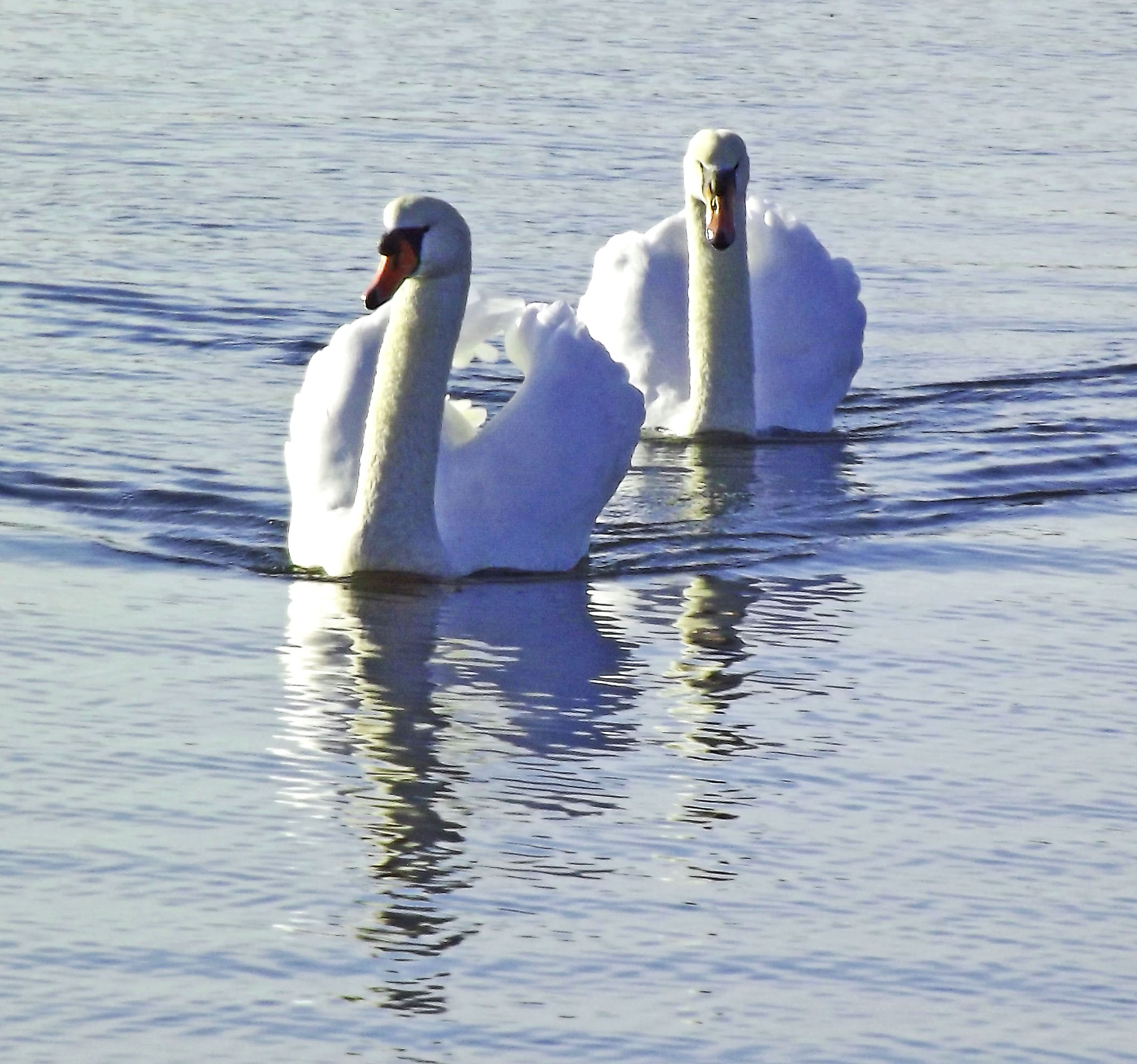 Trumpeter Swans In Jersey