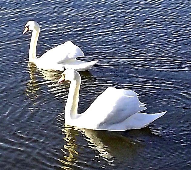 White Trumpeter Swans