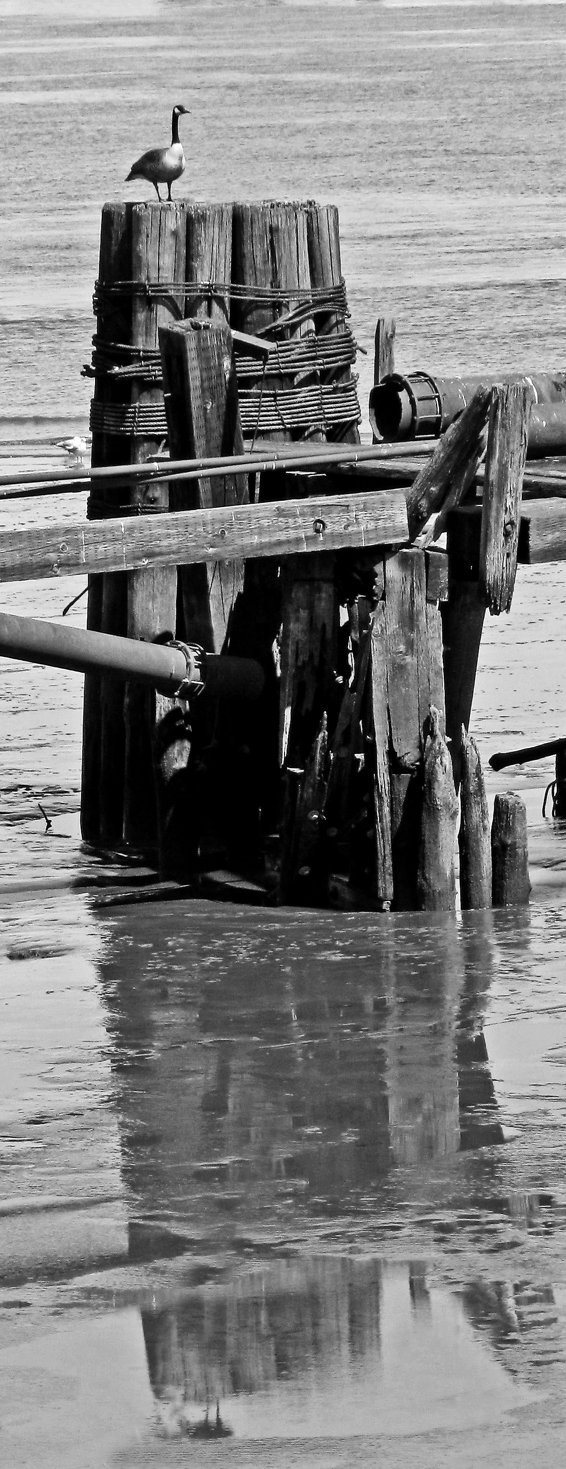 Black & White Of Goose On Pier Pilings