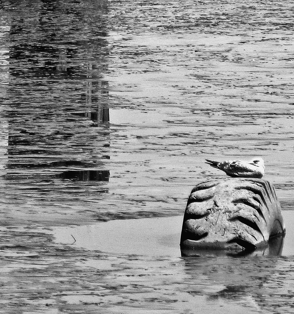 Gull Napping On A Submerged Tire