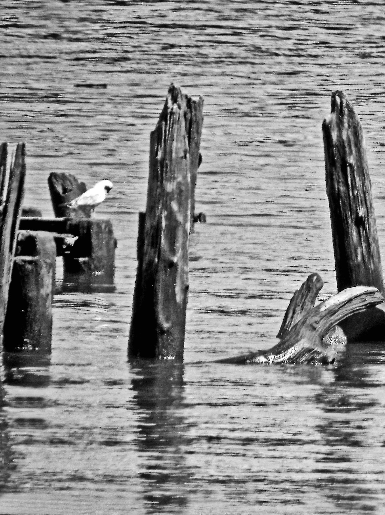 Gull On A Log