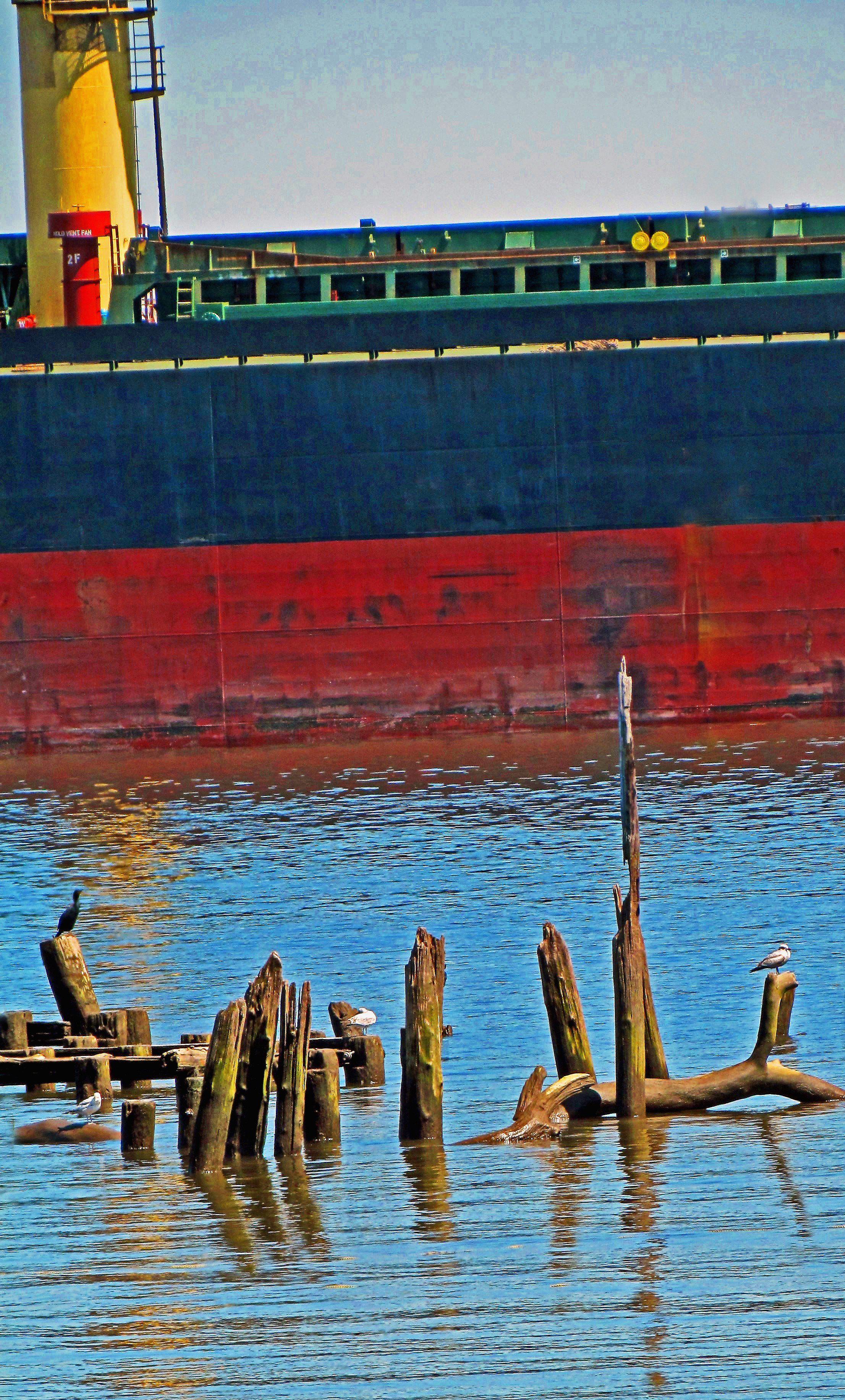 Gulls & Egret Reflecting With Freighter