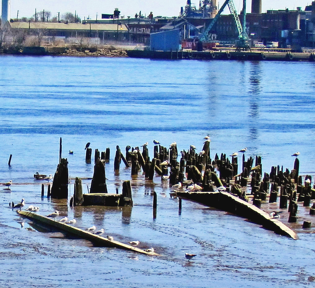 Gulls Hanging Out On Derelict Pilings