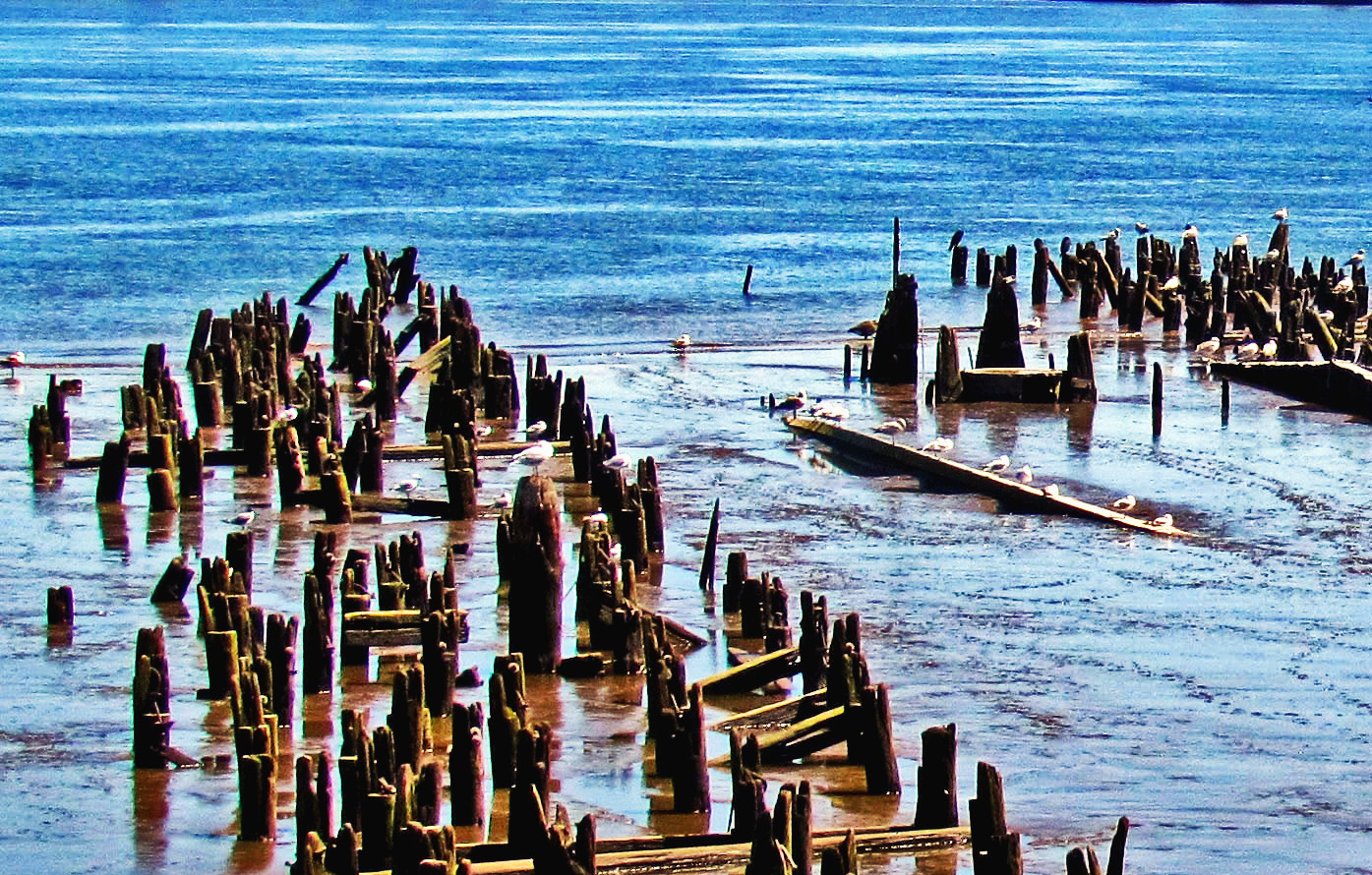 Sea Gulls Perched On Old Abandoned Pilings