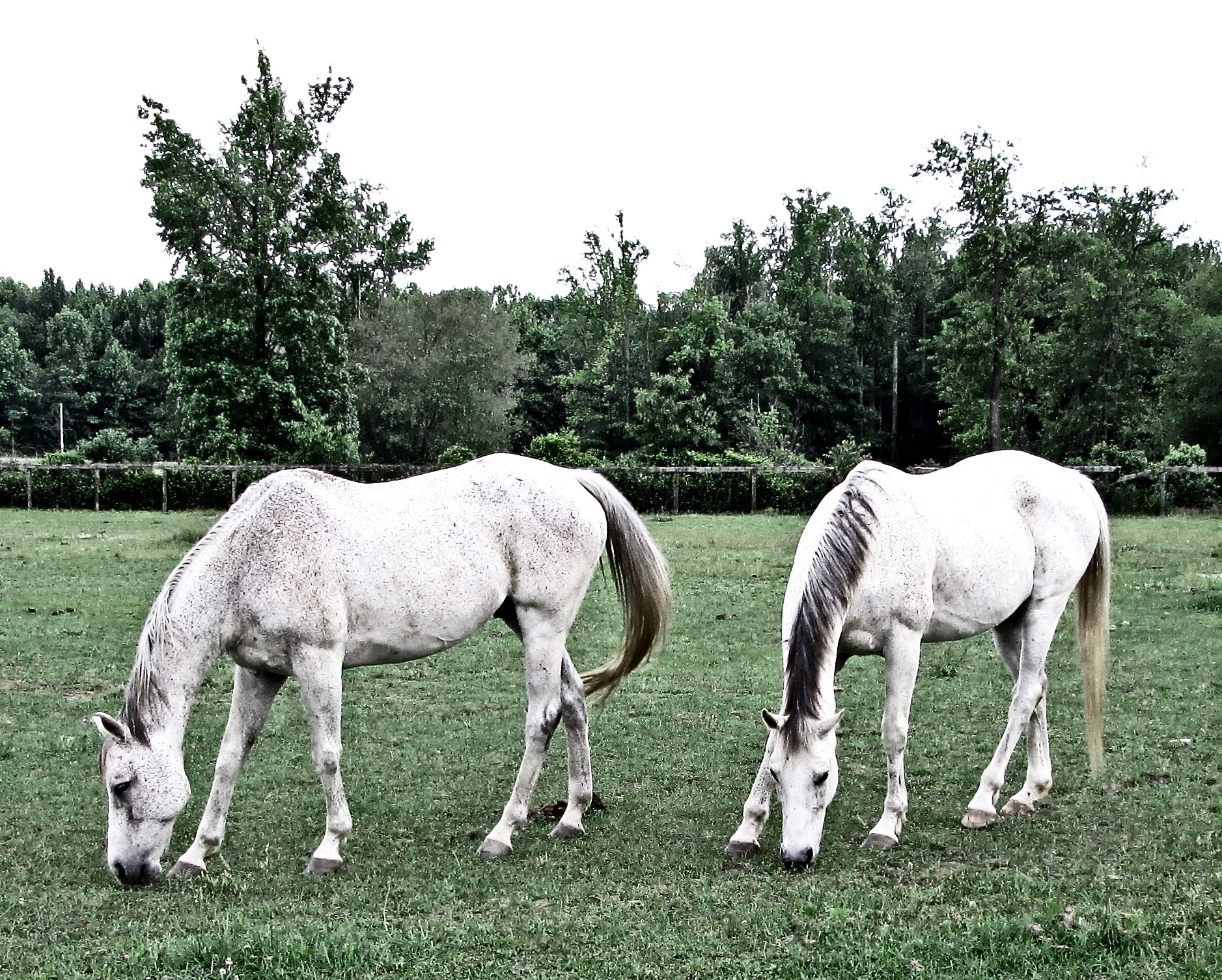 Mares In The Meadow
