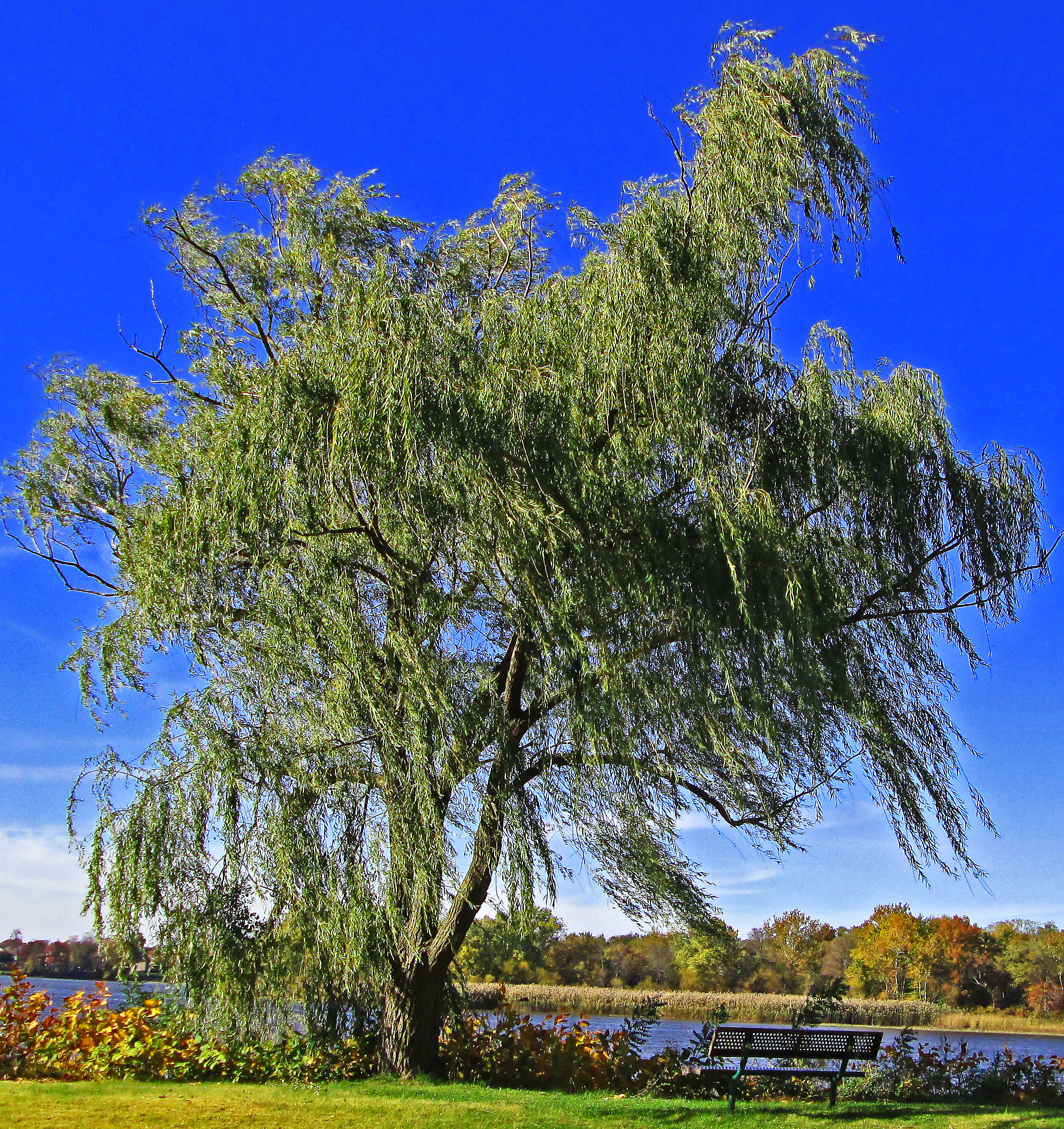Swaying Willow on The Banks Of The Delaware