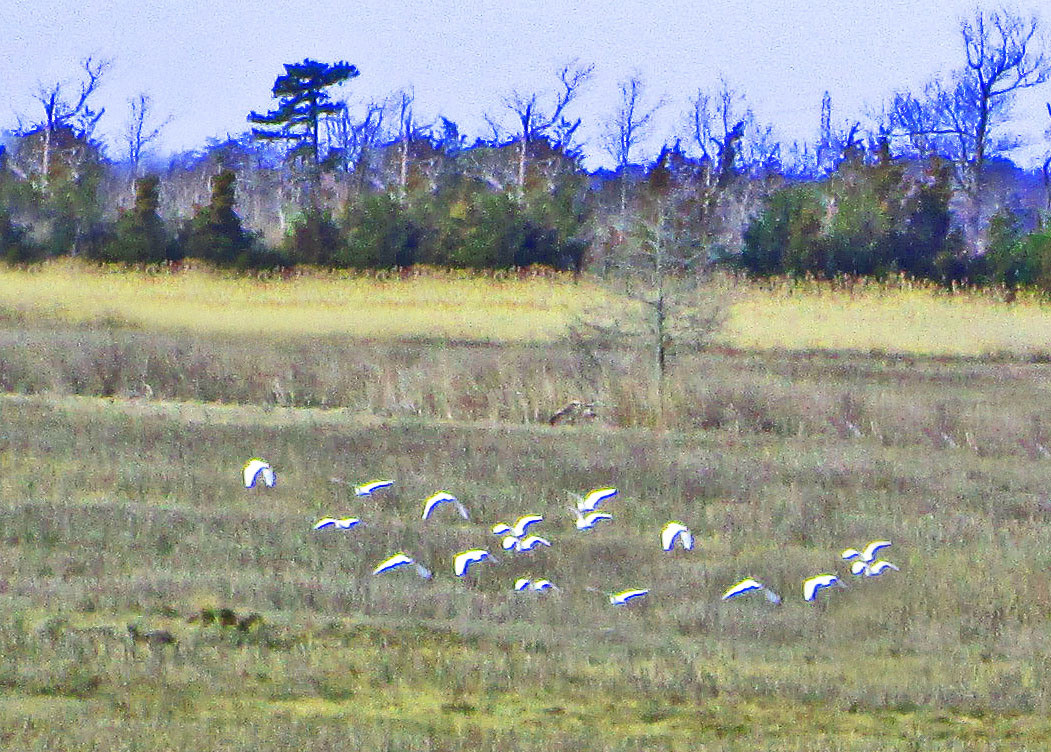 Egrets Over Mill Creek Marsh