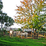 Penned Chester County Horses